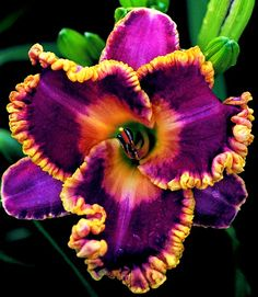 amazing daylily bloom http://media-cache4.pinterest.com/upload/207587864043619437_8SVMMxMm_f.jpg melanieat spring bloom planning