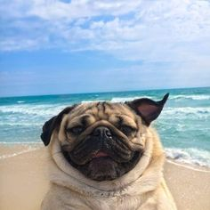 101 Best Doug The Pug Pictures - meowlogy Doug The Pug, Funny Dogs, Funny Animals, Cute Animals, Cute Pug Puppies, Cute Dogs, Pug Wallpaper, Baby Pugs, Pug Pictures