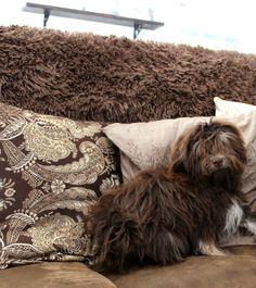 The world's most beautiful chocolate havanese puppies <3 HavaHug Havanese <3   www.havahughavanese.com
