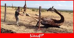 Good samaritans freed a giraffe after it became stuck   in a fence in the Masai Mara in Kenya.   It was likely stuck for a few hours.   They were able to free the giraffe, which then ran off.   It didn't look like the giraffe was hurt.   Watch full... - #Viral #Trending #Videos #Video #Clips #Picture #Pictures #Pic #Pics #Funny