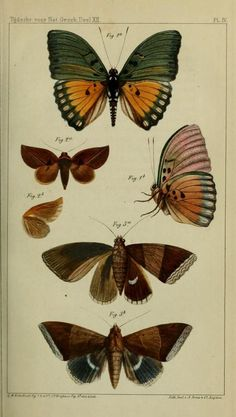 The Biodiversity Heritage Library works collaboratively to make biodiversity literature openly available to the world as part of a global biodiversity community. Butterfly Illustration, Butterfly Drawing, Nature Illustration, Botanical Illustration, Botanical Prints, Insect Photos, Birds And The Bees, Insect Art, Vintage Butterfly