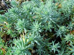 Sedum is a large genus of ornamental succulent plants diverse in form, color, and hardiness. They are useful in the garden, in containers, and the plant of choice for greenroofs. Drought Tolerant Plants, Planting Succulents, Cactus, Garden, Succulents, Garten, Cactus Plants, Gardens, Tuin