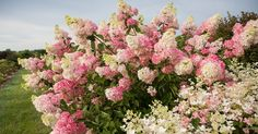 'Berry White' Hydrangeas Are About to Become Your New Favorite Flower | Better Homes & Gardens Hydrangea Varieties, Hydrangea Shrub, Hydrangea Bloom, Hydrangea Paniculata, Hydrangea Garden, White Hydrangeas, Pot Plante, Pink And White Flowers, Trees And Shrubs