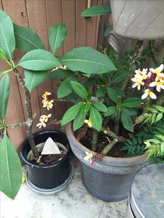 These  plumerias were planted 5/19/16. Check out original picture. Happy Planting Plumeria Lady 101 on FB