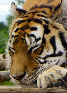 Tayto Park Tiger (Photo by Zuzanne)