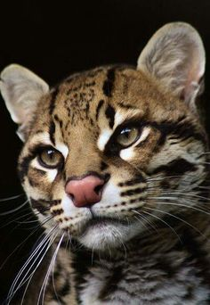 Ocelot Best Picture For Feline logo For Your Taste You are looking for something, and it is going to Small Wild Cats, Big Cats, Cool Cats, Cats And Kittens, Siamese Cats, Pretty Cats, Beautiful Cats, Animals Beautiful, Cute Baby Animals
