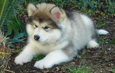 Alaskan Malamute Puppy......I want so bad!!!!!