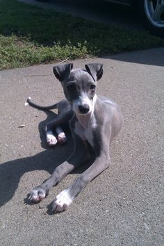 This is what a greyhound puppy looks like? I've only ever seen them after being rescues from the track