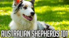 Would you jump at the chance to extend the life of your beloved dog? To discover how, go to http://lovedogs.from.media/go  AUSTRALIAN SHEPHERDS | Right Dog For You?