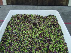 Olives ready for pressing