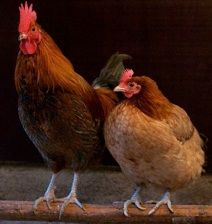 Looking for farm fresh eggs in #Reno? Check out Phoenix Ranch at renoegg.com.