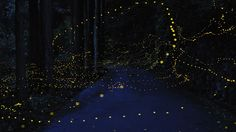 Digital Photo Blog shot these beautiful long exposure photographs of gold fireflies in Japan during the June to July rainy season, when they come together to mate.