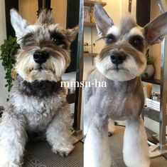 Ranked as one of the most popular dog breeds in the world, the Miniature Schnauzer is a cute little square faced furry coat. Schnauzers, Miniature Schnauzer Puppies, Schnauzer Puppy, Dog Grooming Styles, Dog Grooming Salons, Dog Grooming Tips, Pet Tips, Schnauzer Grooming, Creative Grooming