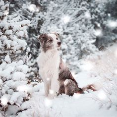 Excellent Pictures Border Collies husky Concepts The actual Edge Collie hails from the borderlands involving The uk and Scotland (hence the label! I Love Dogs, Cute Dogs, Herding Dogs, Schaefer, Collie Dog, Dog Photography, Photography Business, Dog Names, Beautiful Dogs
