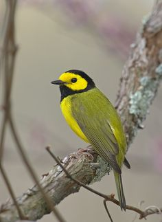 Hooded Warbler (Setophaga citrina) is a New World warbler. It breeds in eastern North America and across eastern USA and southernmost Canada.
