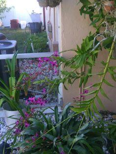 Ivonne's orchids
