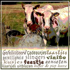 Foto 46, Jarig koeien. Het blijft leuk die koeien in de wei. Gezellig samen uit de bak drinkend en ondertussen alles volgen.