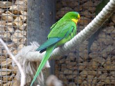 http://faaxaal.forumgratuit.ca/t2324-photo-d-oiseau-perruche-de-barraband-polytelis-swainsonii