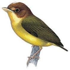 Yellow-throated Spadebill (Platyrinchus flavigularis)
