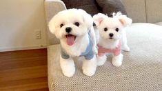 @nayudog_jp - - Follow @maltese.dog.love for more via @okayusan20150421 Love to tag? Please do! - #maltese #malteseofinstagram #maltesers #malteseofficial #maltese101 #malteselovers #maltesepuppy #maltesedog #maltesemix #maltesenation #maltesegram #malteseworld #malteseoftheday #malteseworld_feature #malteseterrier #maltesedogs #malteselife #malteseofig #malteses #maltesesofinstagram #maltesecross #malteseshitzu #malteseclub #maltese_thecute #maltesestagram #maltese_feature #malteseislands…