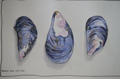 mussel shells drawings - Google Search