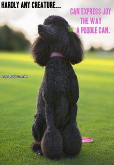 """The Poodle Patch — HARDLY ANY CREATURE… CAN EXPRESS JOY THE WAY A...Hope you're doing well...From your friends at phoenix dog in home dog training""""k9katelynn"""" see more about Scottsdale dog training at k9katelynn.com! Pinterest with over 20,900 followers! Google plus with over 180,000 views! You tube with over 500 videos and 60,000 views!! LinkedIn over 9,300 associates! Proudly Serving the valley for 11 plus years! Now join us on instant gram! K9katelynn"""