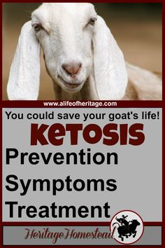 Ketosis in goats: how to prevent this condition, the symptoms and the treatment. It is preventable and you can help your goat avoid it.