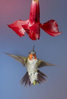 Hummingbird & Flower