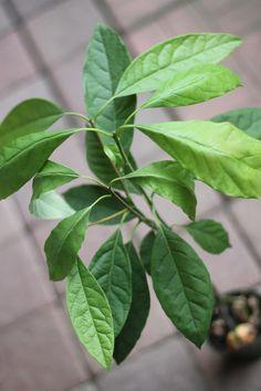 "Avocatier ""tress�"" I Shop, Plant Leaves, Plants, Avocado Tree, Plant, Planets"