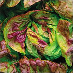 "YUGOSLAVIAN RED LETTUCE is an heirloom from Europe. Succulent buttery red tinged leaves form heads 10"" across. Really ""buttery"" sweet flavor. One of my all-time favorites! Butterhead."