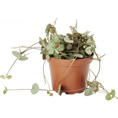 Hjerteranke til å ha på den kvite hylla.kanskje to? Planter Pots, Flowers, Lily, Royal Icing Flowers, Flower, Florals, Floral, Blossoms