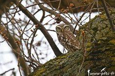 CPN Brabant : le numéro 36 de la revue Infos-Nature est disponible  | Photographie de Pascal et Fabienne Cordier (www.pftc.fr) : Chevêche d'Athéna (Athene noctua) #ornithologie #oiseaux #nature #cpn