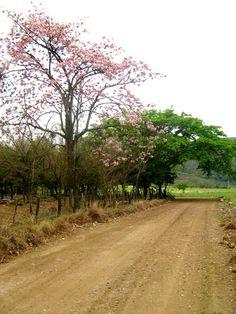 Palo de rosa a un costado del camino