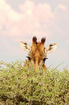 Giraffes giraffes giraffes!
