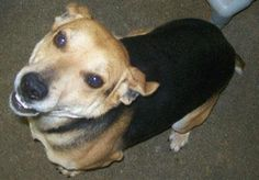 **VERY URGENT**LEVI WILL BE KILLED JAN 24, 2013 / THURSDAY**PLEASE ADOPT/FOSTER/RESCUE**HE IS ONLY 2 YRS OLD**WE NEED TO SAVE HIM***RESCUES: email twhrarescueoffers@gmail.com  SPONSORS: email twhrasponsorships@gmail.com  ADOPTERS: Call the Estill County Shelter at (606) 723-3587   THANK YOU BUNCHES!  DANA