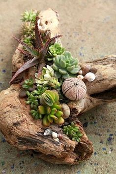 Succulent Driftwood Designs – Succulents and Succulent Garden Design Debra Lee Baldwin Succulents In Containers, Cacti And Succulents, Planting Succulents, Planting Flowers, Propagate Succulents, Succulent Gardening, Succulent Terrarium, Container Gardening, Succulent Ideas