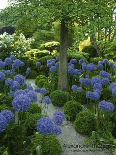 A stunning photo by Alexandre Thomas of an Agapanthus and buxus lined pathway.