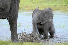 Ellie the Elephant, Botswana