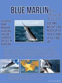 Blue Marlin by Rex Pflueger Marine Bio Block 6