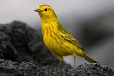 Gele zanger - foto gemaakt in Galapagos eilanden, Ecuador