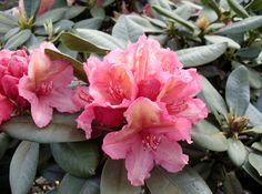 Rhododendron 'Brasilia' - eine sehr seltene und wunderschön bühende orange-rosa Rhododendron-Sorte. Unglaublich schönes Zierelement, das garantiert Farbe in Ihren Garten bringt!