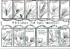 Pinus Thumbergii : plum' printemps'