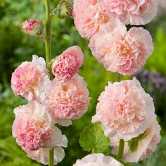 Image result for chater's double hollyhock salmon