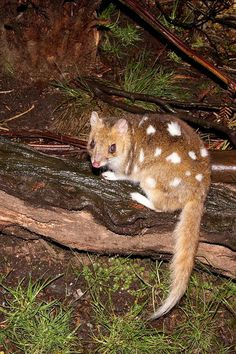 ♥ Eastern Quoll