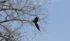 Birding around Westport and Essex: Bald Eagle