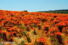The Siberian American: California Road Trip: Antelope Valley California Poppy Reserve