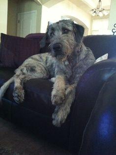 Our Goji Berry, Irish Wolfhound, 9mos