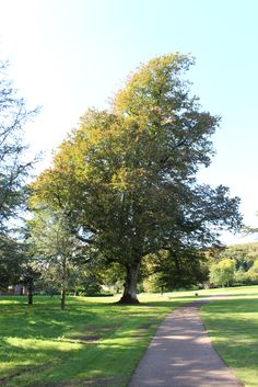 Leaves turning autumnal on the picnic lawn at West Dean Gardens.