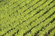 Marino's Grape Festival - Oct 6th-7th