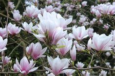 magnolia-109321_1280.jpg (1280×853)